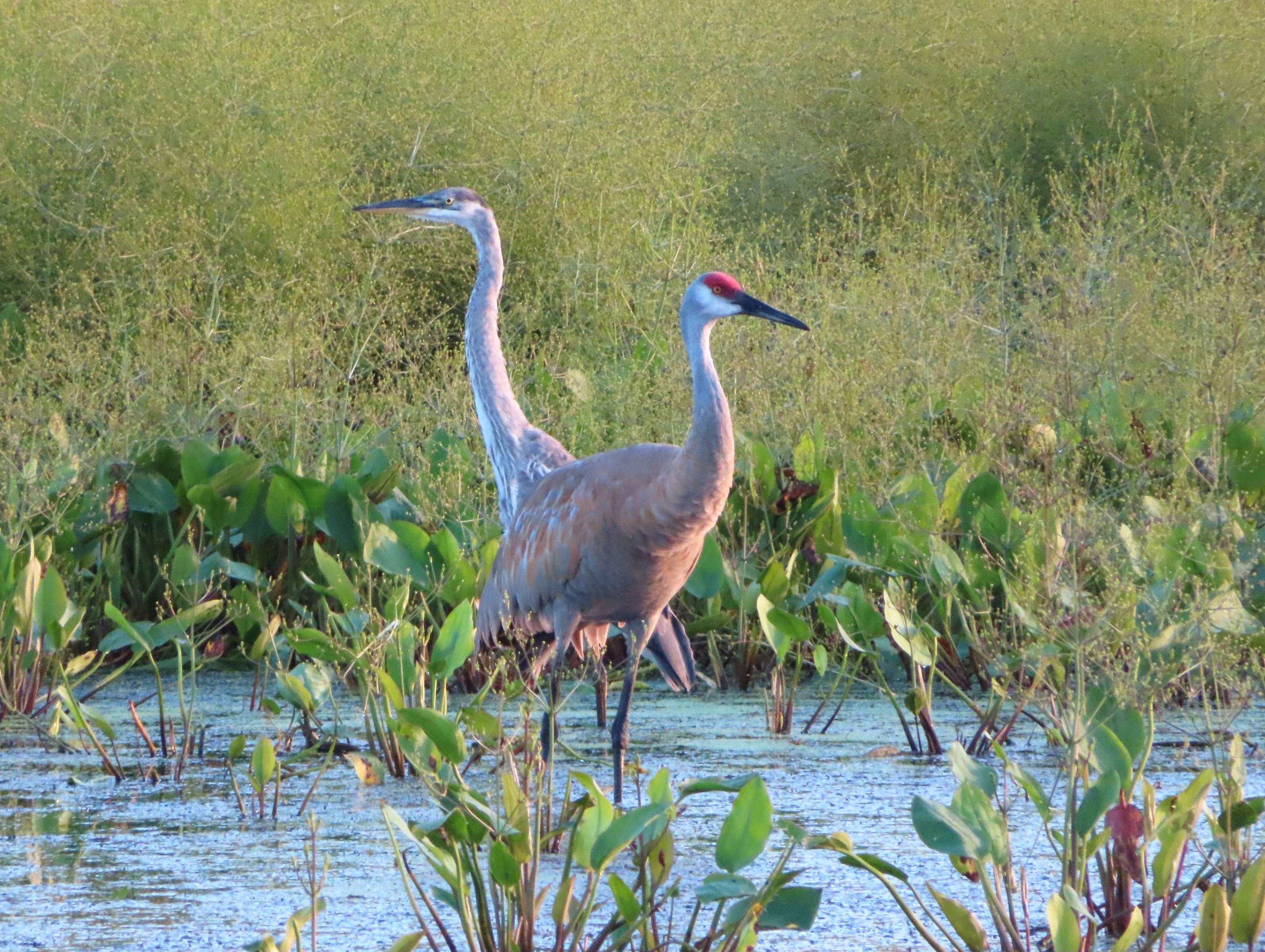 08/11/2020 Great Blue Heron and Sandhill Crane