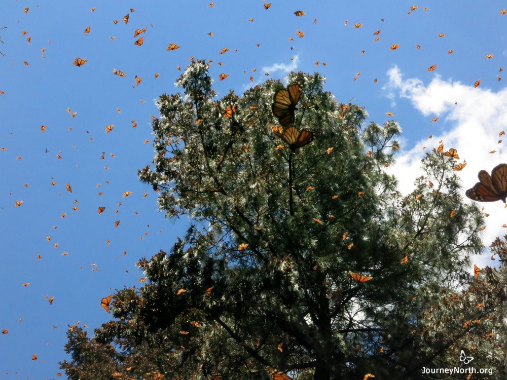 Monarch Butterflies flying from winter sanctuaries in Mexico.