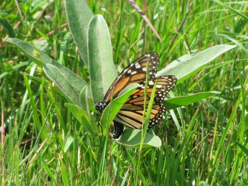 Image of Monarch Butterfly Laying Eggs