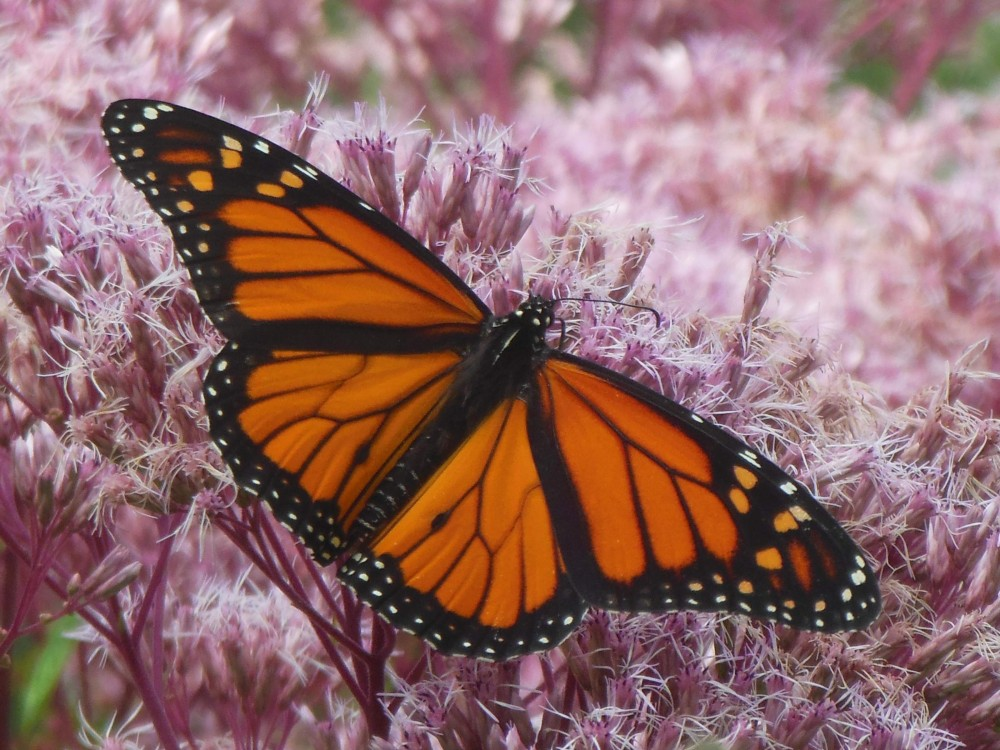 When a monarch emerges from its chrysalis, it's born with vivid orange wings in pristine condition.