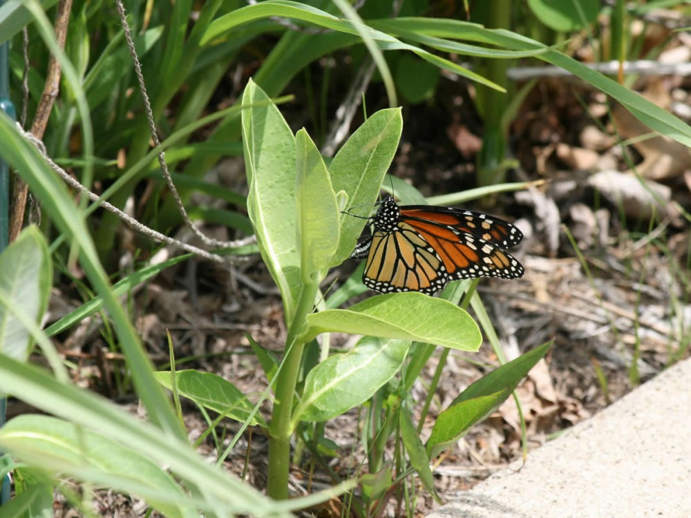Image of a fresh monarch female laying eggs on milkweed.