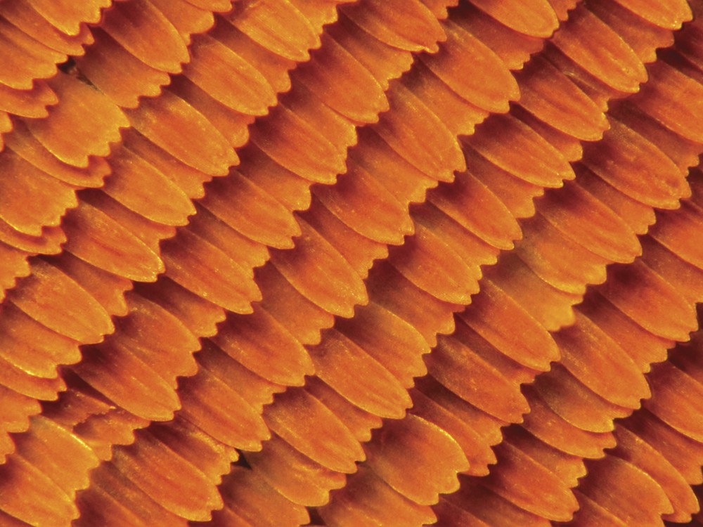 The surface of a monarch's wing is covered with thousands of tiny, flat, colorful scales. As the monarch loses these scales, it loses its color.