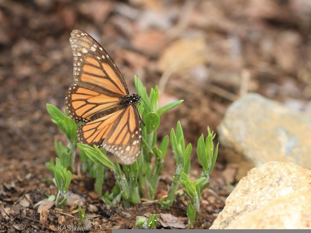 By April, monarchs of the overwintering generation from Mexico have only a few weeks to live. The worn-winged butterflies are no longer their brilliant orange.