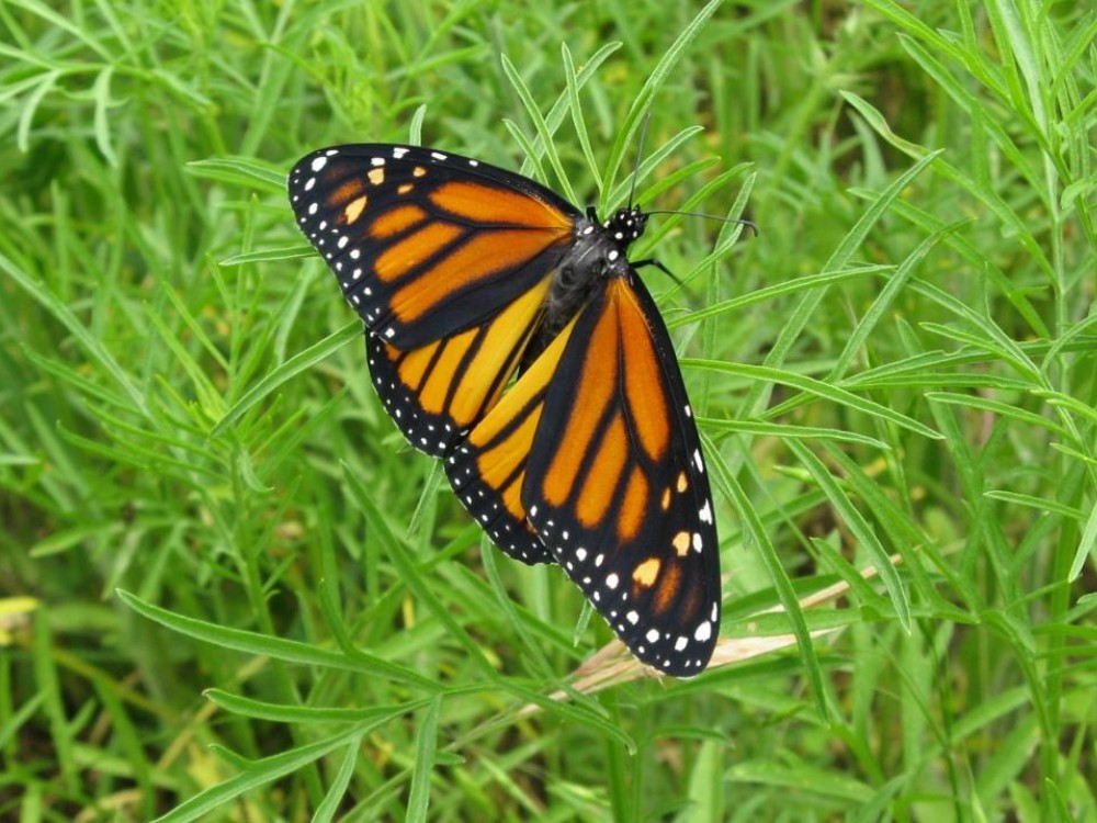 By May, a new generation of monarchs emerges. On fresh wings, these butterflies will complete the spring migration.