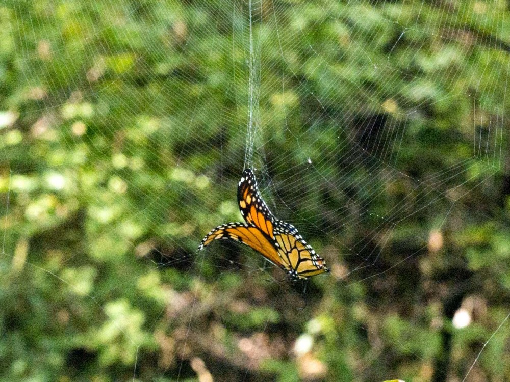 A butterfly may escape a spider's web but its wings may be damaged by the struggle. The sticky silk threads can remain clinging, too.