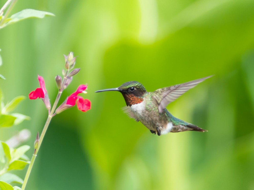 Citizen scientists across North America are observing seasonal changes and reporting hummingbird sightings. Join us as we track the migration of hummingbirds traveling to their breeding grounds. Photo by Linda Tully Pontius