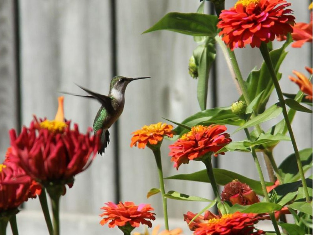 Zinnea elegans, also known as youth-and-age, is a member of the sunflower family. The solitary long-stemmed zinnea flowers come in many colors attractive to hummingbirds. Laura Wikston photographed this one on its fall journey south. Photo by Laura Wikston