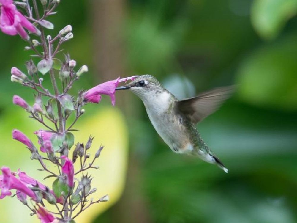 Penstemons, also known as beardtongues, are deciduous or semi-evergreen plants with flowers of a tubular shape. As you can see they are a perfect shape for delivering nectar to hummingbirds. Many species of penstemons are cultivated—and found in the wild. Photo by Linda Pontius