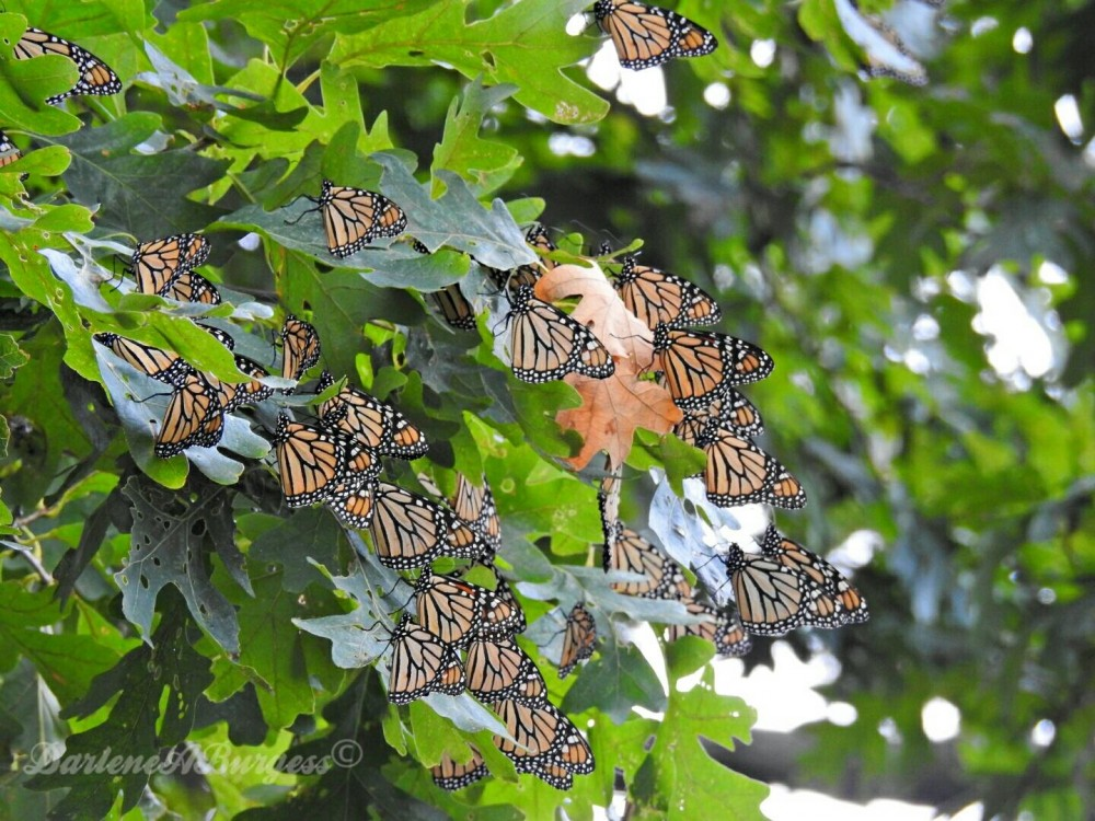Monarch Butterflies at Overnight Roost