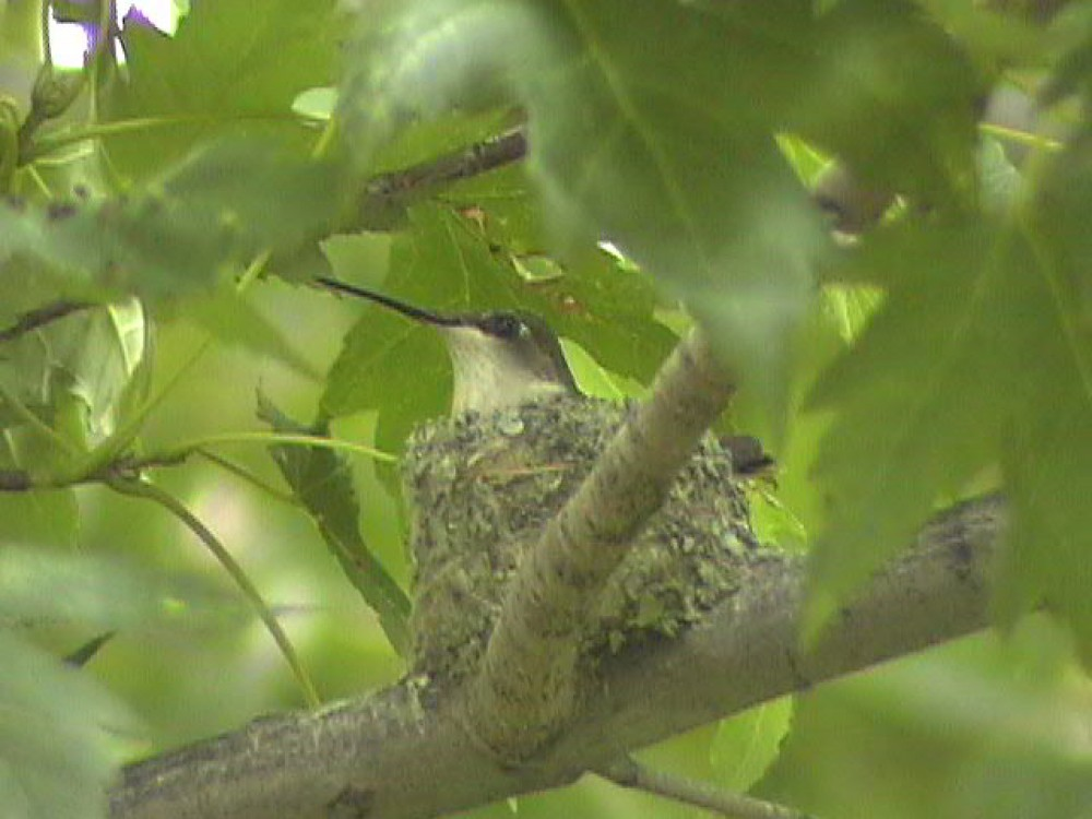 Each female selects the nest site, gathers the nesting materials, and builds the nest entirely on her own. In southern areas where hummingbirds nest two or sometimes, though rarely, three times in a season, the female might reuse a nest for her second brood. Photo by Dorothy Edgington