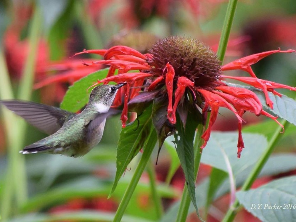 Hummingbird Nectar Sources: Late Summer—Fall
