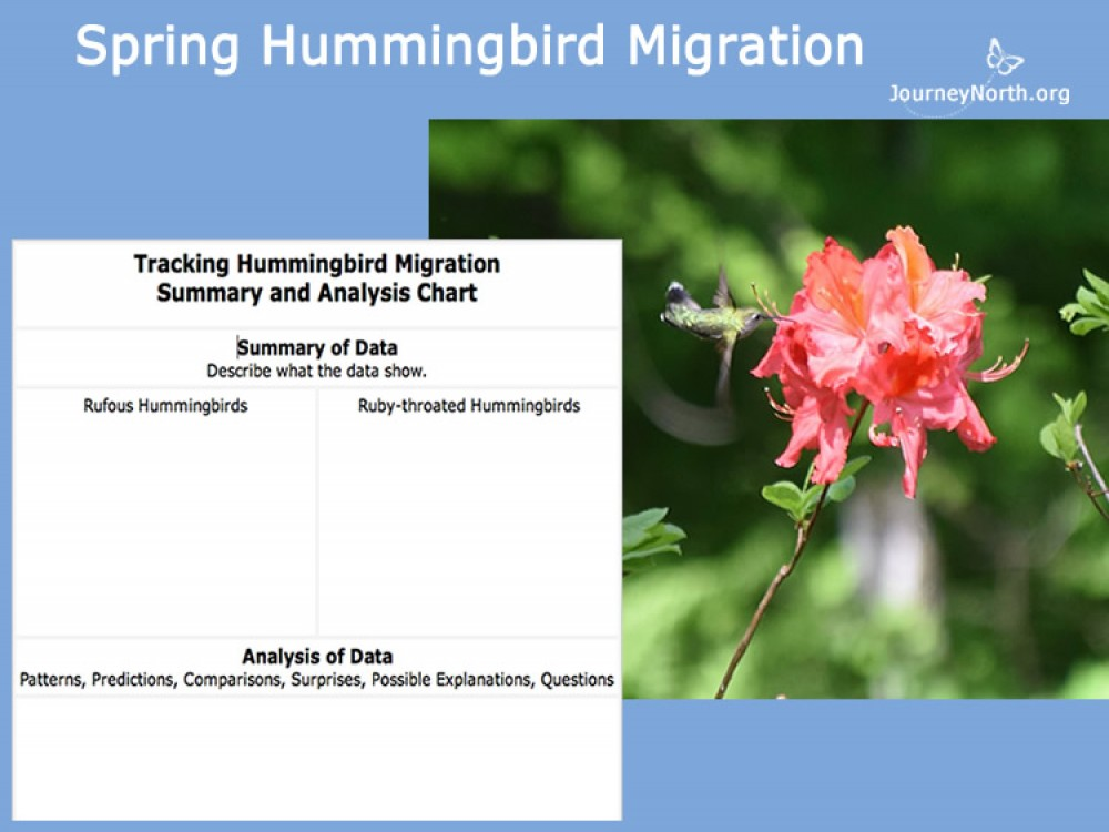 When will hummingbirds arrive in your area? Collect maps, create recording charts, and analyze migration data throughout the season.