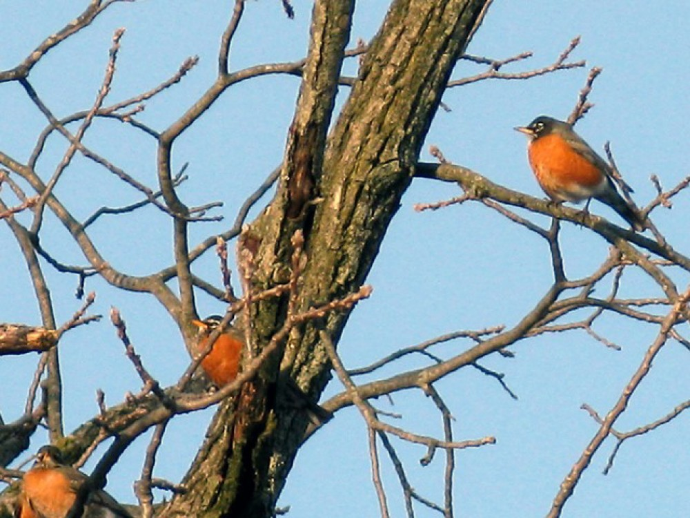By February, the largest numbers of robins are in the south where they still find fruit. Increasing sunlight triggers an urge to return north. Robins are getting restless. Depending on available food and favorable weather, some flocks begin to journey north.