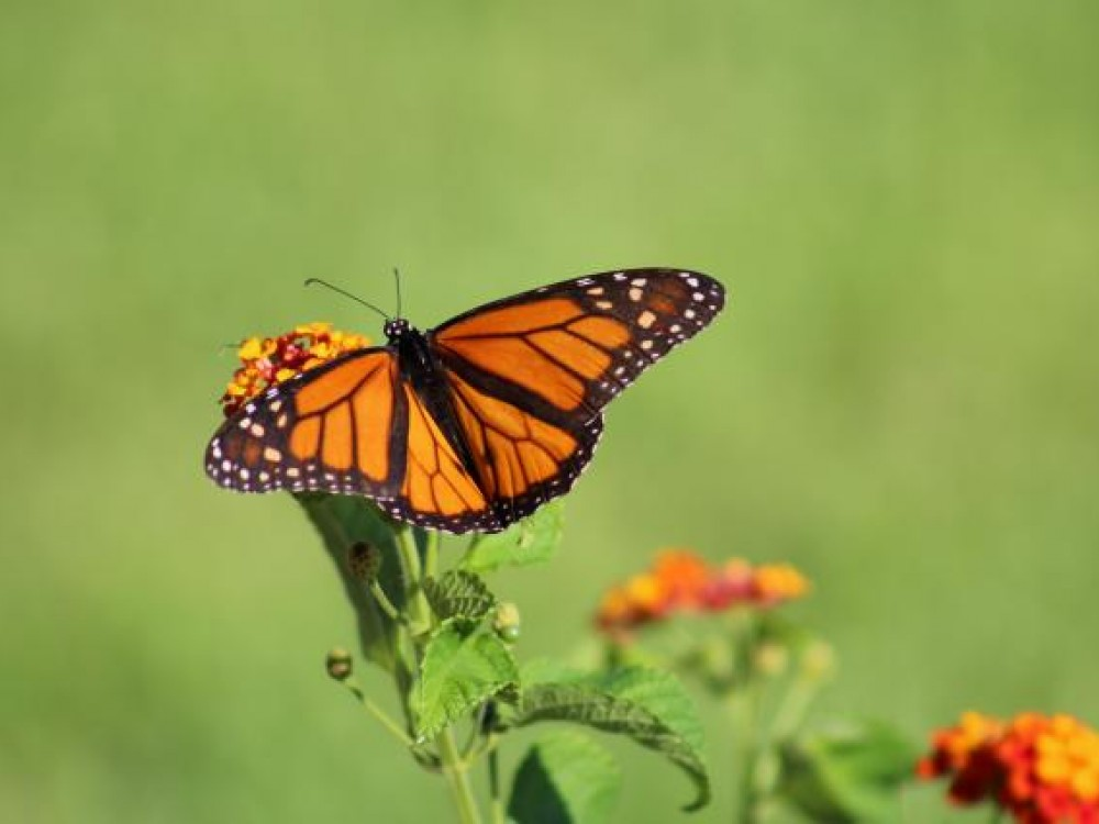 "In September, 2017, right after Hurricane Harvey, people reported from the Texas Gulf Coast. ""Day #2 and there are monarchs all over the place,"" wrote Jennifer Wyer from Houston. Another observer, Harlen Aschen, has weathered many hurricanes. ""We've watched monarchs out the window clinging to the stems of plants when the winds were topping 50 mph. We also saw monarchs flying the day after Hurricane Claudette when we had had 105 mph winds. They know what to do - hunker-down."""