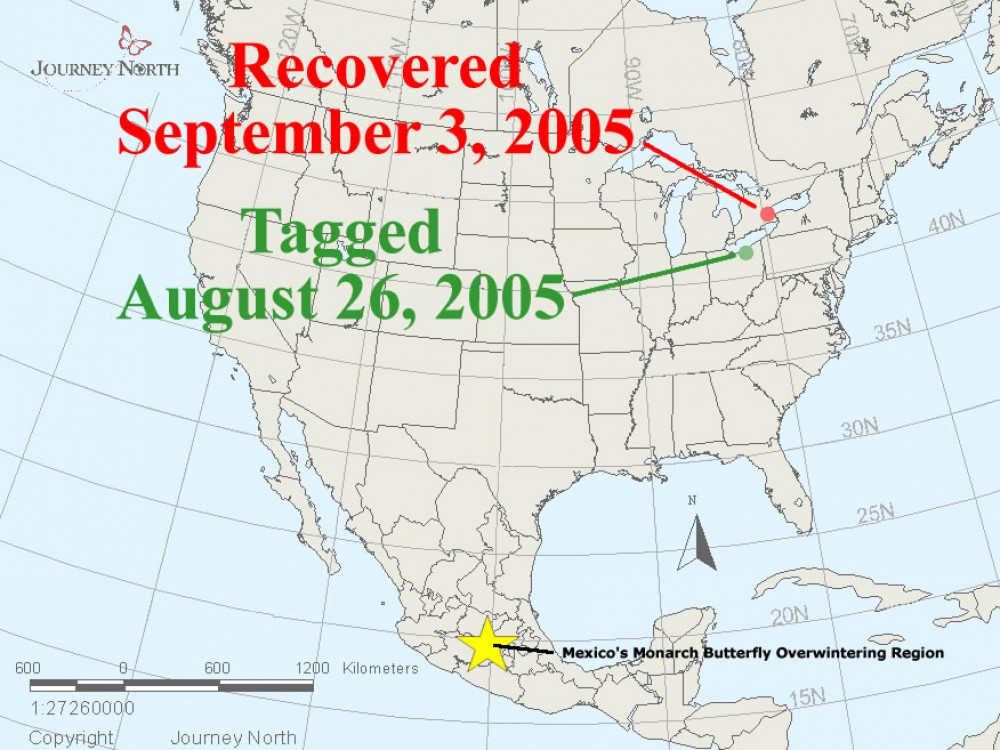 "A monarch was tagged in Ohio on August 26, 2005. A few days later, the remnants of Hurricane Katrina moved through. On September 3rd, the monarch was recovered in Ontario. Presumably the winds blew the butterfly in the wrong direction. Monarch expert Don Davis wondered, ""Was this Mexico-bound monarch blown by Hurricane Katrina into Ontario, about 165 miles northeast from where it was tagged?"""