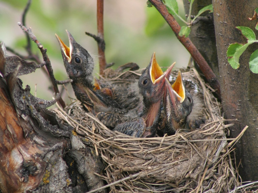 Nesting season is in full swing as June begins. Robins will have two or three broods each summer. Caring for nestlings for 11-13 days, the two parents will feed each chick an average of 356 insects and 14 feet of earthworms!
