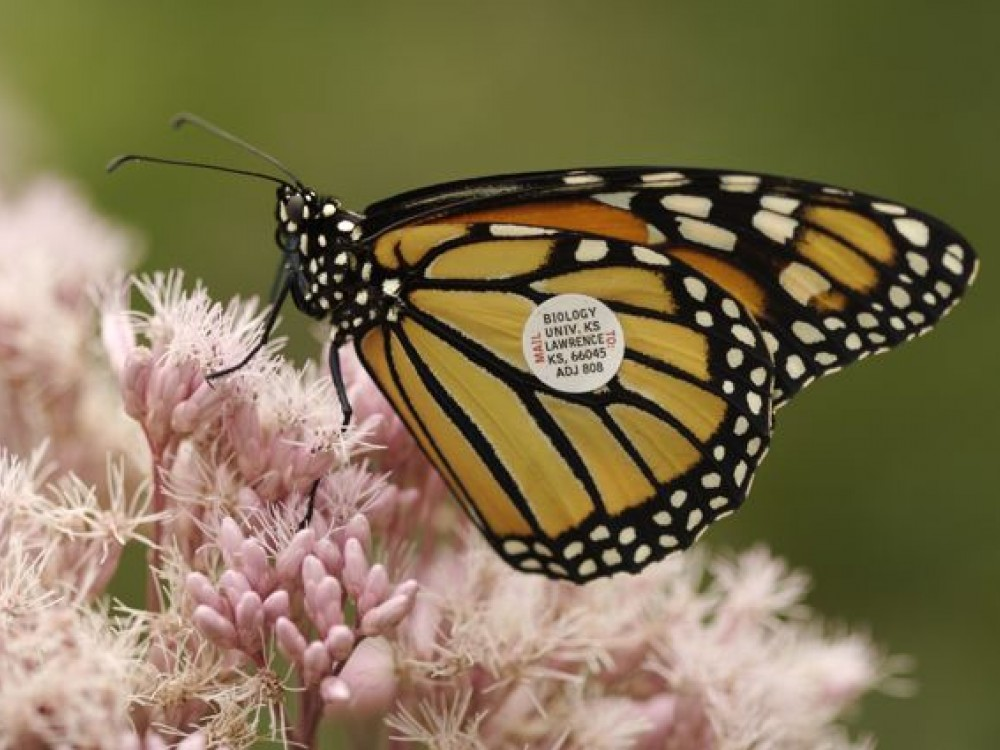 A monarch can migrate at least 170 miles in a single day. This fact is known because of a tagging recovery. The monarch was tagged at 1 p.m. in New Jersey. The very next day, it was recaptured at 5 p.m. in Virginia.