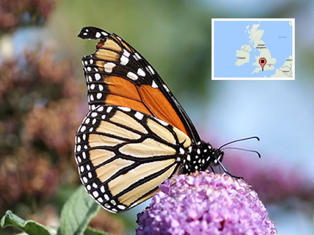 "Another time a monarch and a North American bird were discovered in England was after Hurricane Issac in September 2012. ""We have seen a few monarchs here over the years — all after storms have swept across the Atlantic. I guess the butterfly and bird were displaced from their normal migration routes by Hurricane Isaac,"" said Martin Cade of Portland Bird Observatory. Despite the strong winds and 3,500-mile journey, the butterfly was in remarkably good condition. Only the tips of his wings were broken."