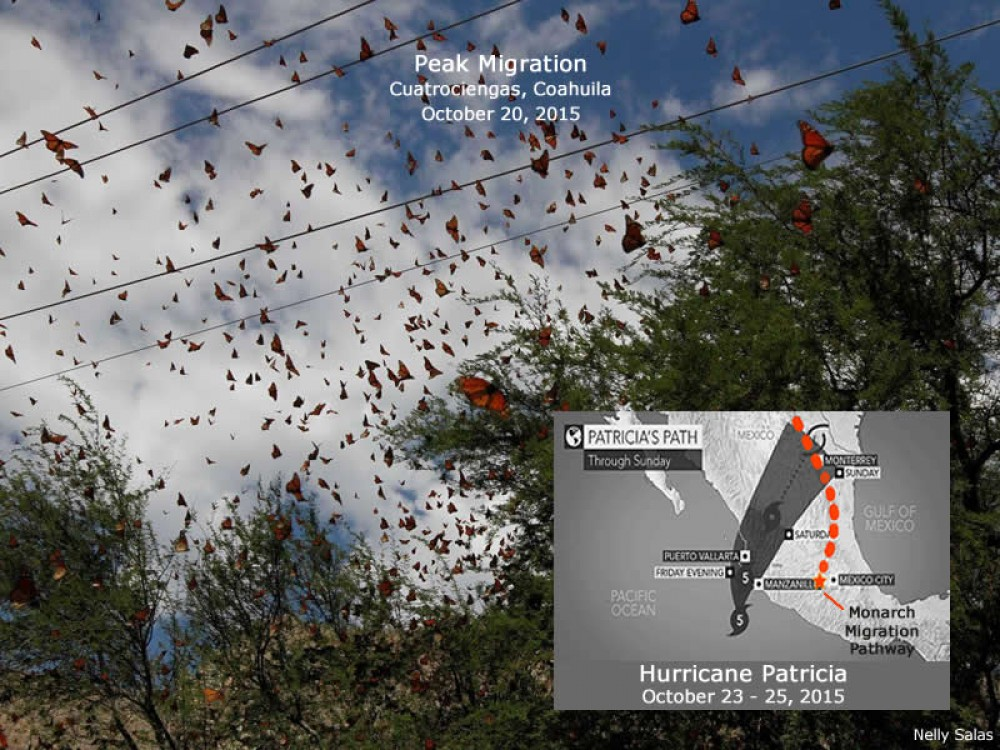In late October, 2015 while millions of monarchs were funneling across northern Mexico, Hurricane Patricia was headed directly for the migration pathway. Fortunately, the storm system dissipated as it moved across Mexico's rugged landscape. This was a narrow escape for the monarchs. During peak migration, one storm could impact the population on a grand scale.