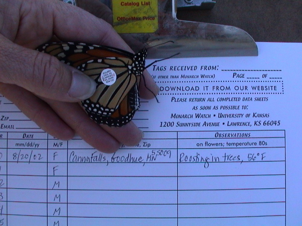 Many tagged monarchs lead to unexpected findings. While on a picnic, one family found their own tagged butterfly 50 miles from home! After a hurricane, a monarch that had been tagged in Ohio was discovered in Canada, 165 miles to the northeast. Strong winds must have carried the butterfly in the wrong direction!