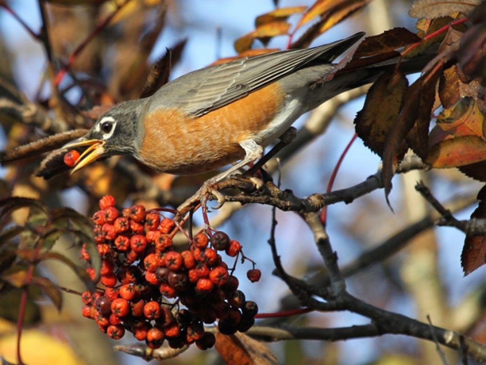 October is the month of heaviest migration. Most robins fly south in winter; however, some stick around—and move around—in northern locations where food can be found. The robins that stay will have the advantage of first choice of best territories in spring. Meanwhile, migrating robins find plentiful berries all along the journey south. Robins don't migrate on a particular route but fly in flocks, looking for food. Down feathers grow under outer feathers, adding extra insulation against winter's cold.