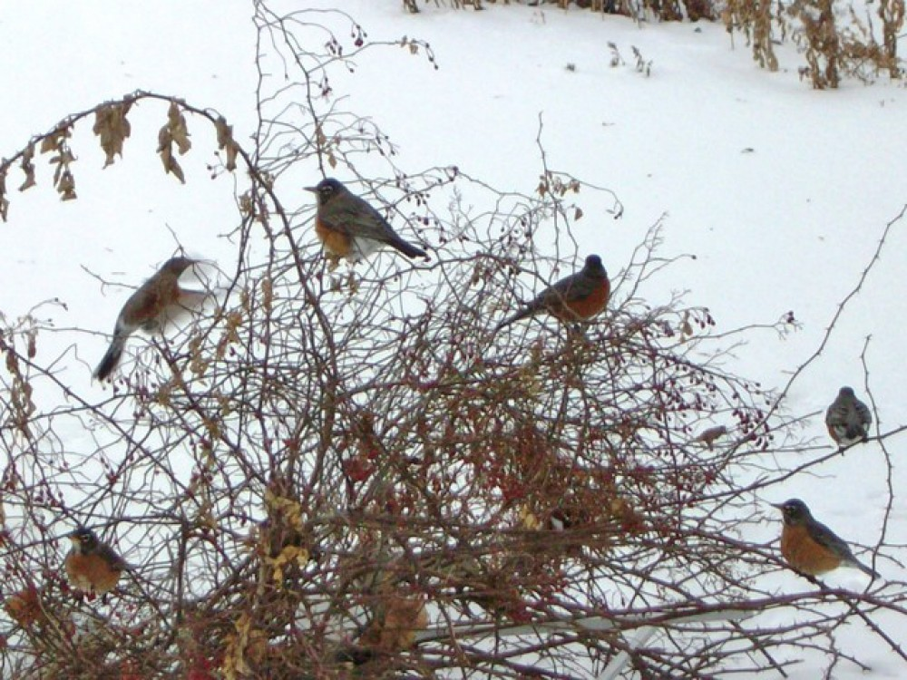 In December, robins face diminishing food supplies and harsh weather. Finding food is essential for winter survival. Robins take wandering flights to search for fruits, and are now more common in the south than the north. Some observers report flocks of hundreds and thousands of robins!
