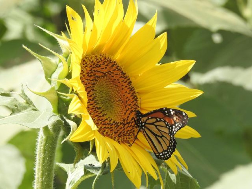 Monarch butterfly nectaring from sunflower