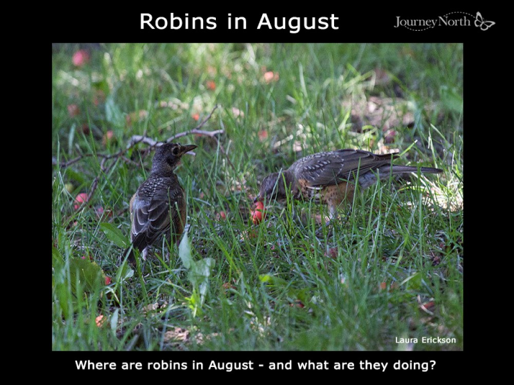Journal: Robins in August