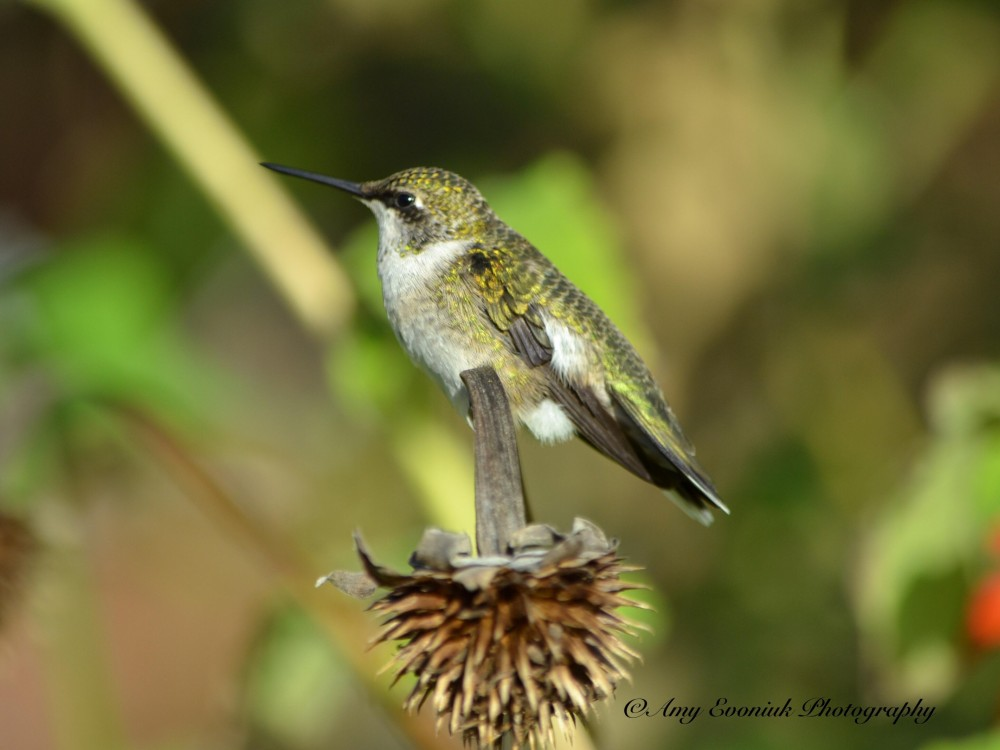 Hummingbird on fading fall blooms by Amy Evoniuk