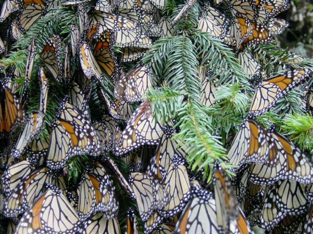 Monarch butterflies at winter sanctuaries in Mexico