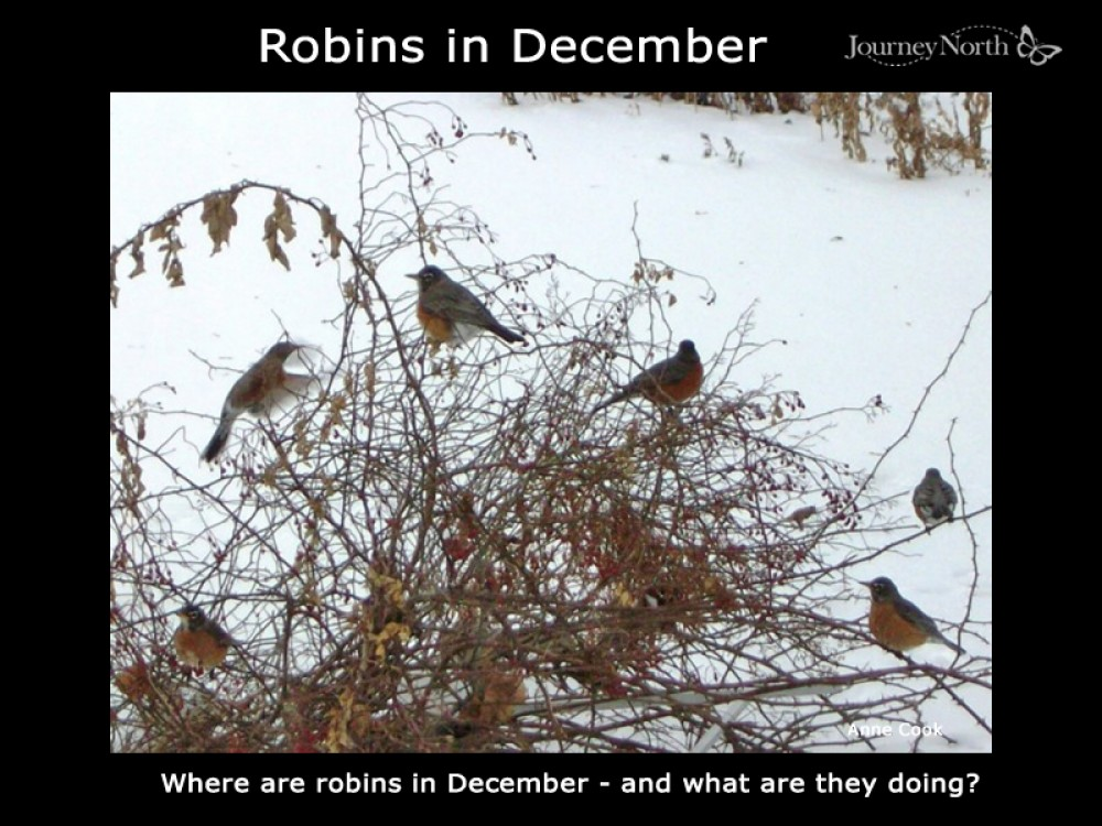 Robins in December