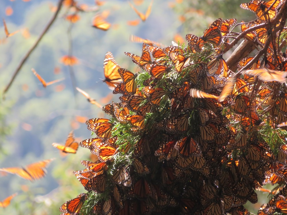 Monarch Butterflies at Cerro Pelon Sanctuary in Mexico