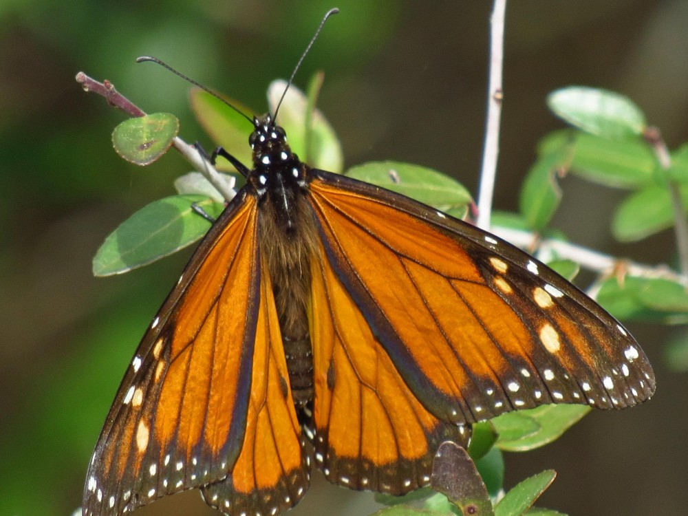 Monarch Butterfly Sighted in Panacea, Florida in January 2018.