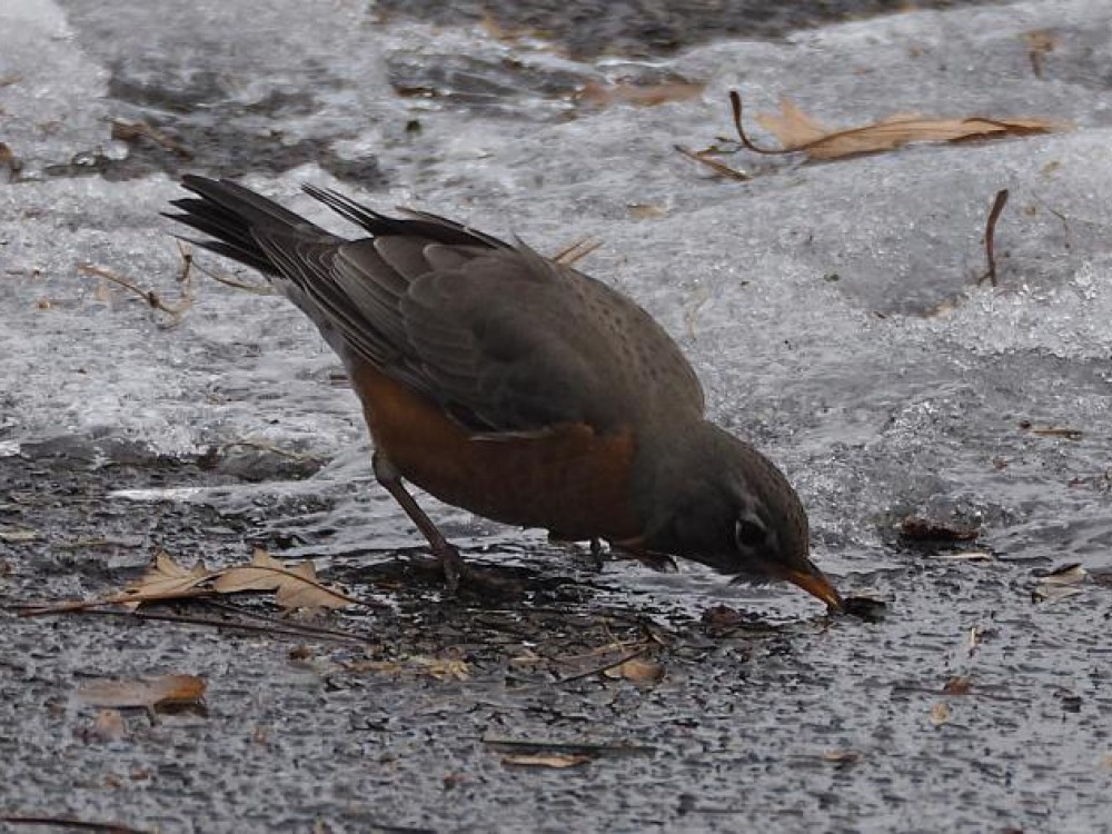 Robin foraging on ground exposed by recent mild weather in Ottawa, Ontario. Image by Gordon Johnston