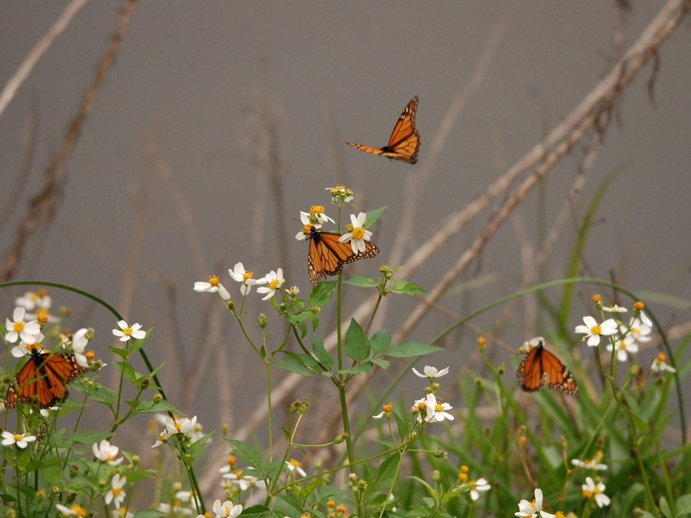 Monarch Butterflies on South Padre Island, Texas