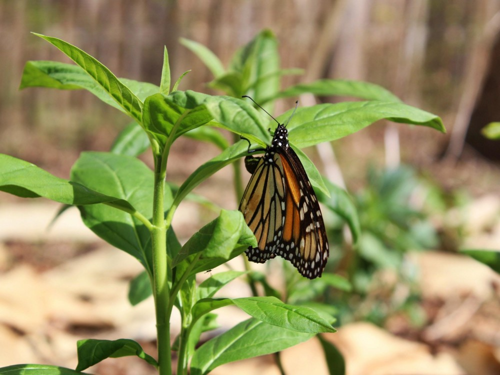 Monarch butterfly sighted in North Carolina on April 6, 2018