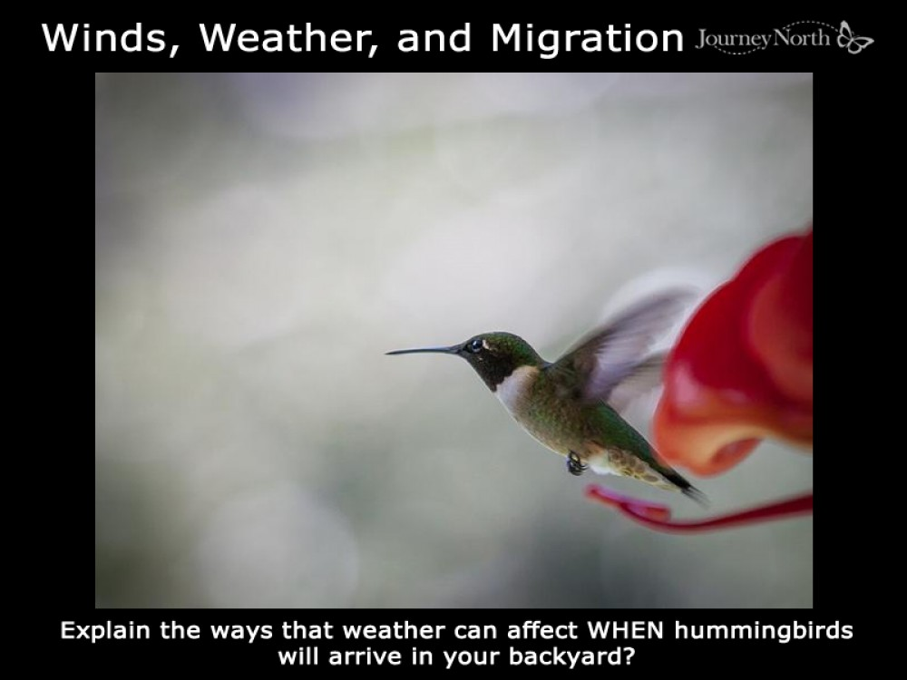 Winds and weather affect migration. How?