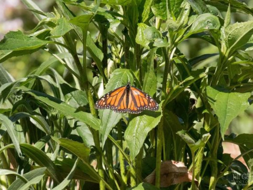Monarch laying eggs on milkweed by Jill Gorman