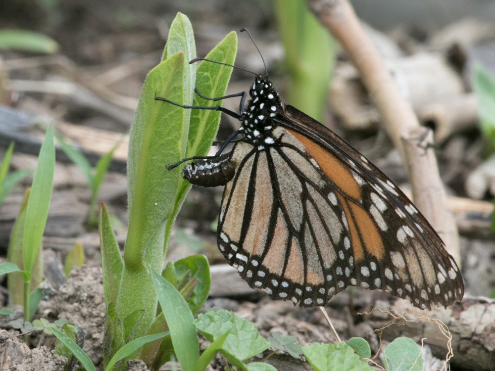 Monarch Butterfly Laying Eggs in Pennsylvania