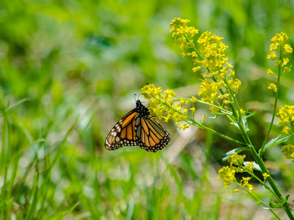 Monarch Butterfly Nectaring in Iowa