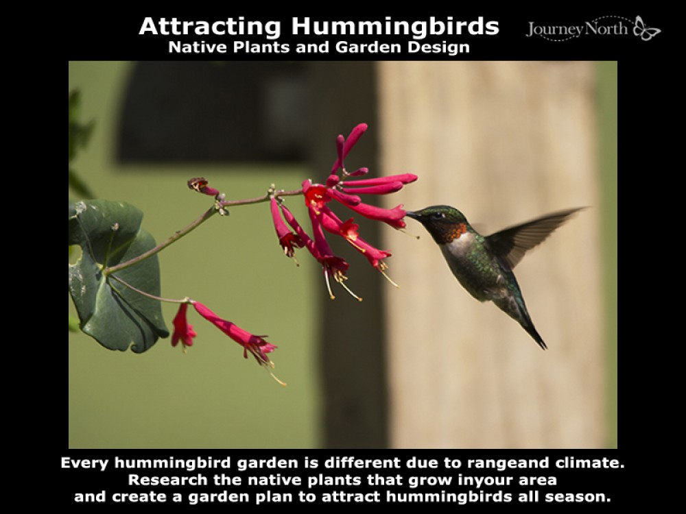 Native plants provide nectar for hummers