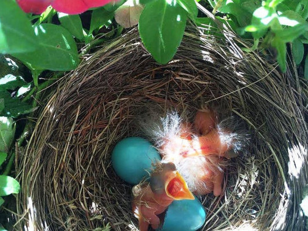 Baby Robins in the Nest