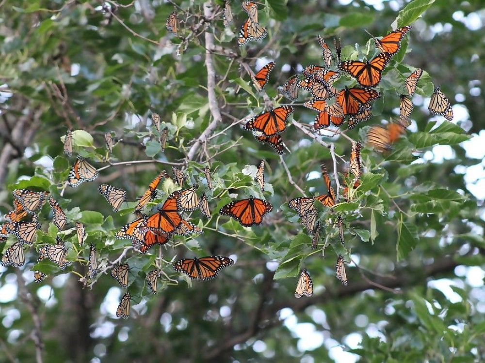 Monarch butterflies roosting in Dell Rapids, SD.