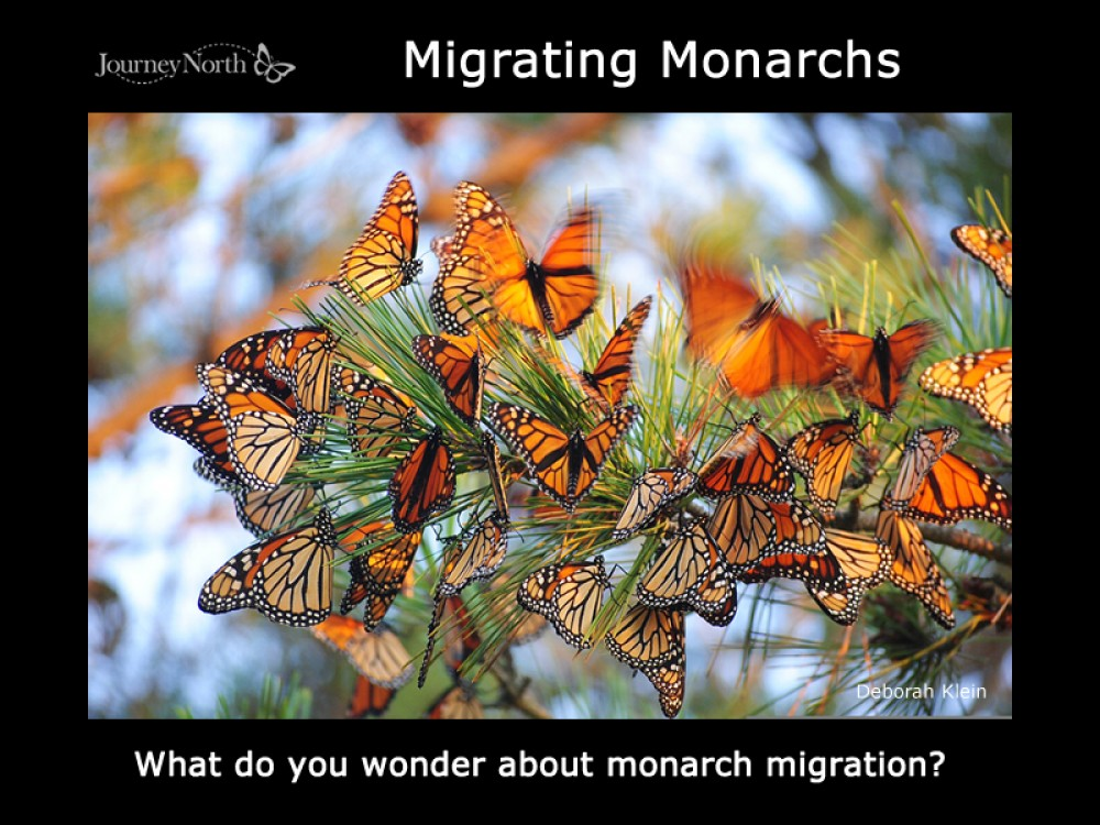 Magic of Monarch Migration