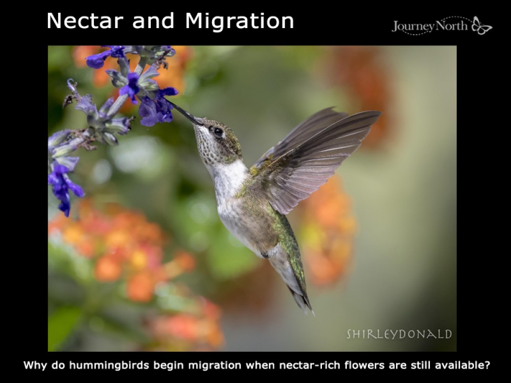 Image of hummingbird by Shirley Donald