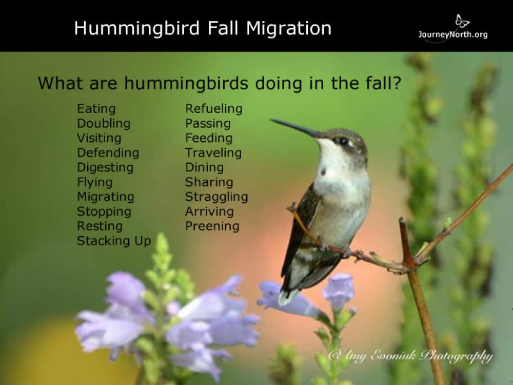 Hummingbird Journal: Fall Behavior