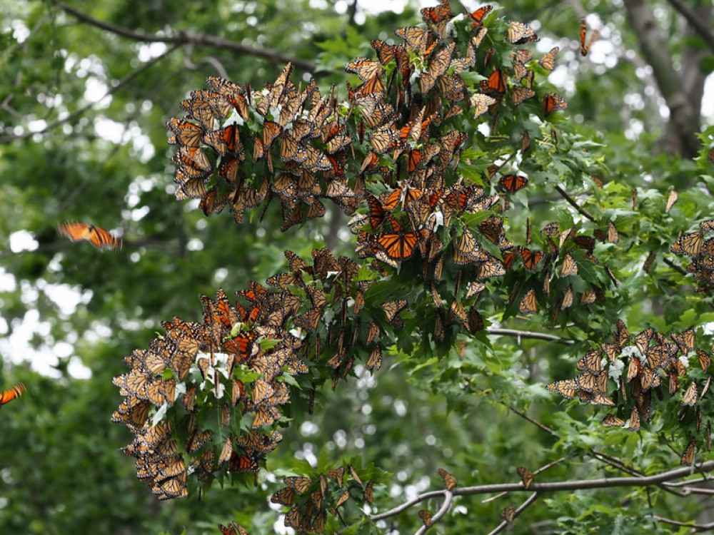 Monarch Butterflies roosting by Jackie Riley
