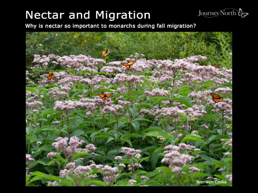 Why Nectar Important to monarchs during fall migration?