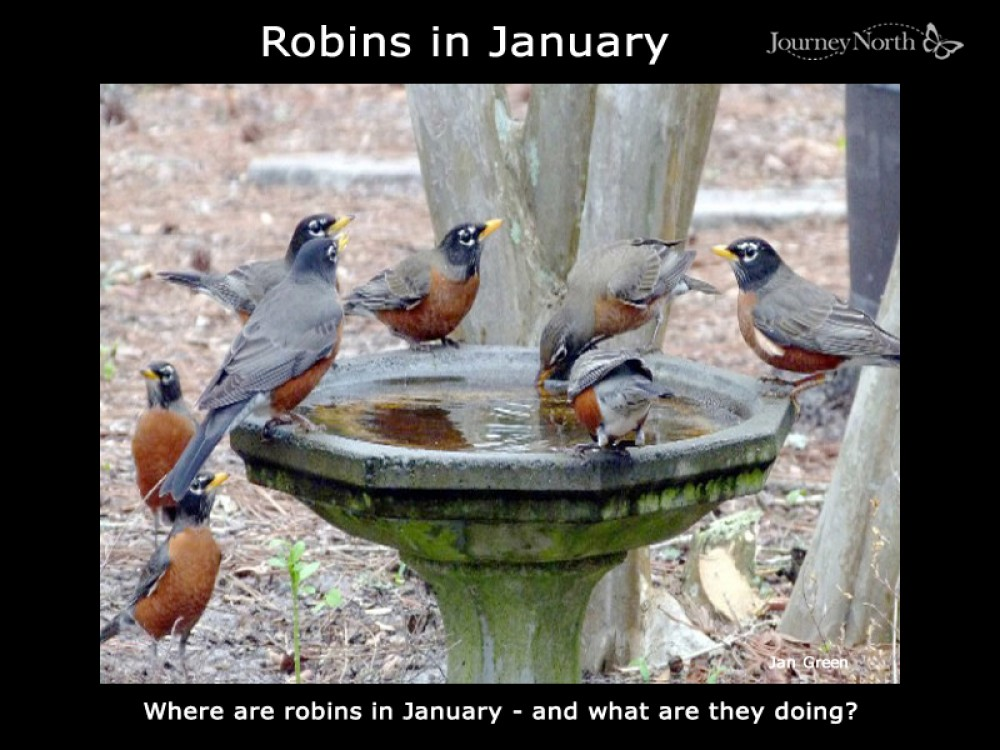 Robins in January
