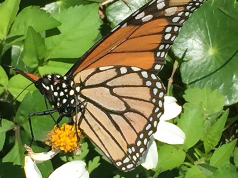 One of the 8 monarchs sighted on January 5, 2019 in Gulf Shores, Alabama by Donald E.